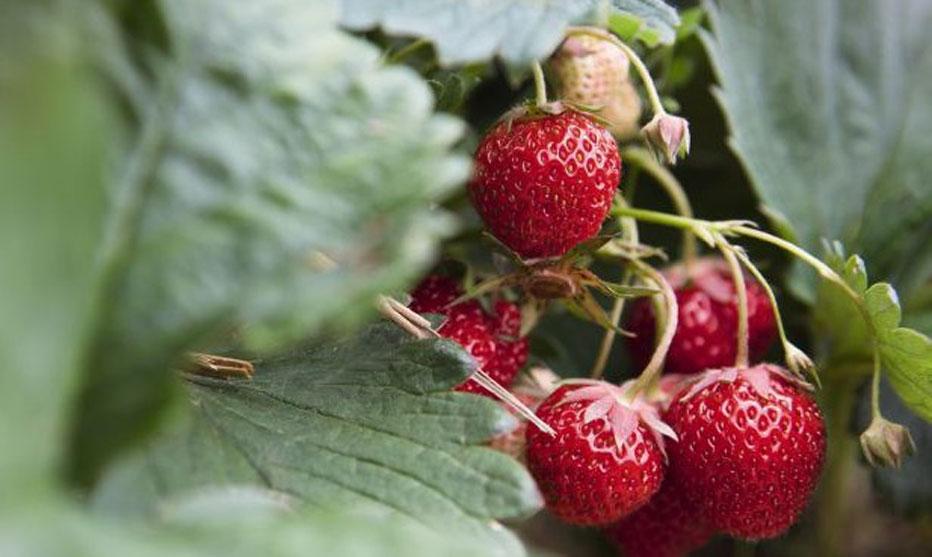 Jetzt ist Erdbeerzeit